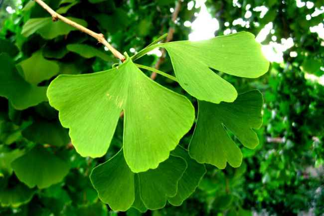 Ginkgo Biloba Tree Care