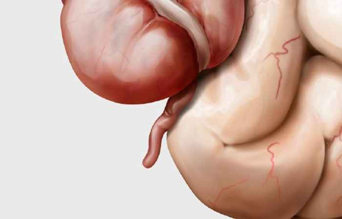 Role of Appendix in Human Digestive System
