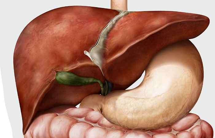Role of Liver in Human Digestive System